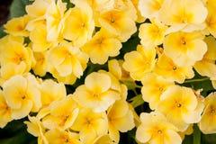 Цвет Primula цветков яркий желтый Стоковое Фото