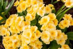 Цвет Primula цветков яркий желтый Стоковая Фотография RF