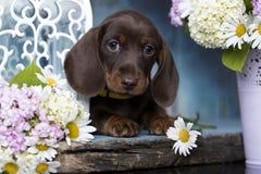 Цвет tan коричневого цвета щенка таксы и стоцвет цветков Стоковые Фотографии RF