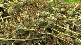 Целебная сжатая пенька конопли высушила деталь семян качества для продукции мазей и creams превращенный мимо