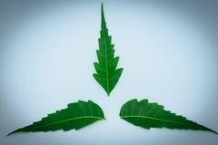Целебные лист Neem на белой предпосылке Azadirachta indica стоковые изображения rf