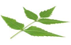 Целебные травяные листья Neem имеют свойства медицины стоковое изображение