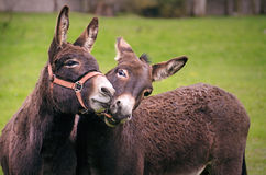 целовать ишака стоковые фотографии rf