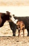 целовать коров стоковое изображение
