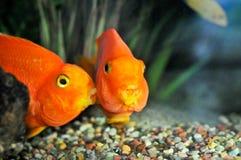 целовать рыб Стоковое Фото