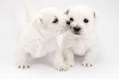 целовать щенят Стоковые Фотографии RF