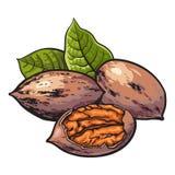 Целый и половина обстреливали грецкие орехи с зелеными листьями бесплатная иллюстрация