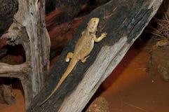 Центральная бородатая ящерица дракона Стоковая Фотография