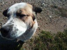 Центральная собака Sheperd азиата Стоковое фото RF