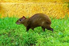 Центральное американское punctata Dasyprocta agouti Животное живой природы Стоковые Фотографии RF