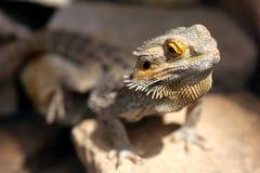 Центральное бородатое фото крупного плана дракона стоковое изображение