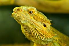 Центральные бородатые vitticeps Pagona дракона Стоковое Изображение