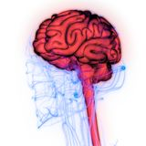 Центральный орган анатомии мозга человеческой нервной системы иллюстрация штока
