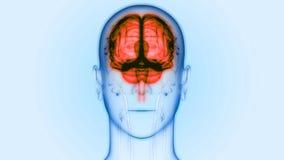 Центральный орган анатомии мозга человеческой нервной системы иллюстрация вектора