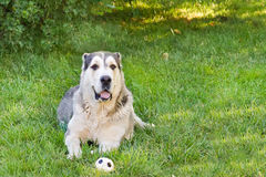 Центральная азиатская собака чабана при игрушка шарика лежа на траве стоковое фото