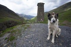 Центральная азиатская собака чабана сидя на предпосылке башен Svan безопасностью и большая гора Кавказа благоустраивают vil Ushgu Стоковые Фотографии RF