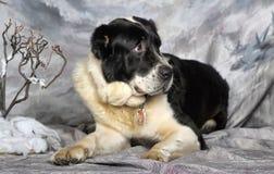 Центральная азиатская собака чабана Стоковое Изображение
