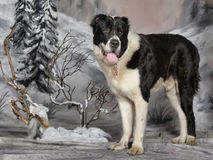 Центральная азиатская собака чабана Стоковое Фото