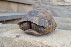 Центральная азиатская черепаха Стоковое Изображение RF