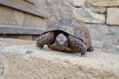 Центральная азиатская черепаха Стоковые Изображения