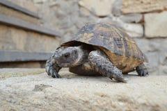 Центральная азиатская черепаха Стоковая Фотография