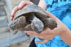 Центральная азиатская черепаха Стоковое Изображение