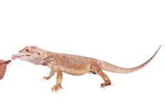 Центральный бородатый дракон гоня сверчка на белизне Стоковое Изображение