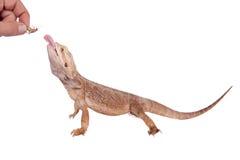 Центральный бородатый дракон гоня сверчка на белизне Стоковая Фотография