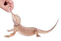 Центральный бородатый дракон гоня сверчка на белизне Стоковое Фото