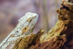 Центральный бородатый дракон Стоковые Фотографии RF