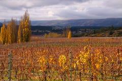Центральный виноградник Otago Стоковое Изображение
