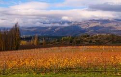 Центральный виноградник Otago Стоковая Фотография