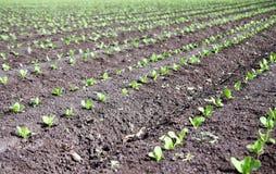 Центральный урожай побережья Стоковые Фотографии RF
