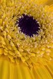 Центр желтого цветка Стоковое Изображение RF