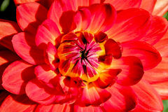 Центр красного цветка Стоковая Фотография