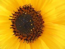 Центр солнцецвета Стоковая Фотография RF
