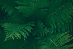 Центр темного ого-зелен дерева папоротника в родном кусте, текстура естественной предпосылки Стоковые Фото