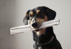 цепная газета металла удерживания собаки Стоковое Изображение