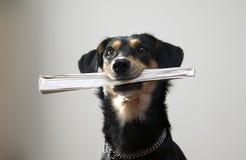 цепная газета металла удерживания собаки Стоковое Изображение RF