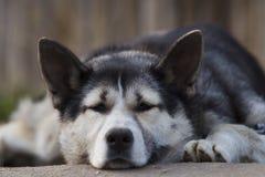 Цепная собака, лежа на тротуаре около деревянной загородки Стоковое фото RF