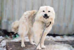 цепная собака Стоковое фото RF