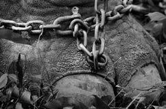 Цепь связанная к ноге слона Стоковая Фотография
