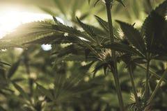 Целебные заводы марихуаны закрывают вверх Стоковое Изображение RF