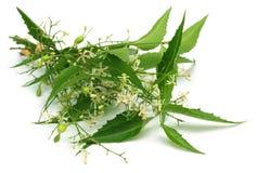 Целебные листья neem с цветком Стоковые Изображения