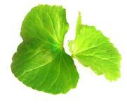 Целебные листья thankuni индийского субконтинента стоковые изображения rf