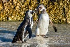 Целовать африканских пингвинов Стоковые Фото