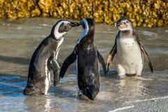 Целовать африканских пингвинов Стоковое Изображение