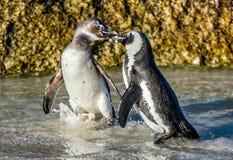 Целовать африканских пингвинов Стоковая Фотография RF