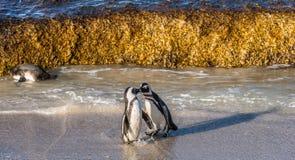 Целовать африканских пингвинов Стоковые Изображения RF