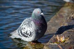 Целовать голубей стоковое изображение